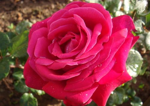 一盆玫瑰花的画法步骤